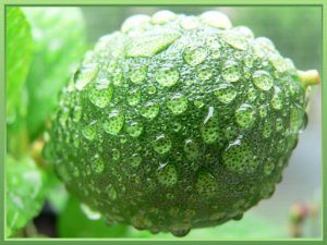 Reggeli eső utáni citrom