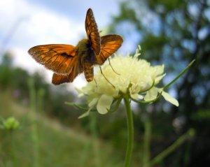 Vasárnapi pillangó