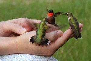 Hammingbirds