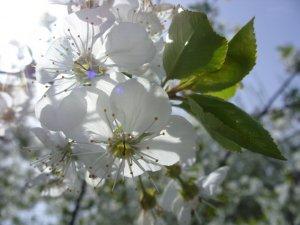 Virágzó tavaszi Fa