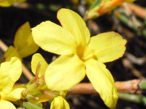 Virágzik az aranyvessző