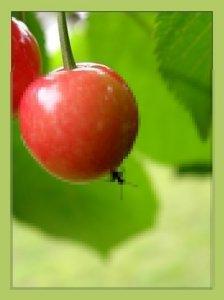 A lellei cseresznyerém