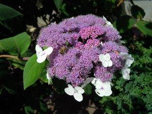 Hortenzia-pillangók