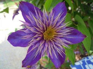 Csak egy kék színű virág