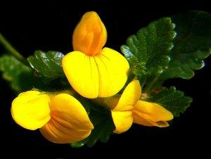 sárga virág