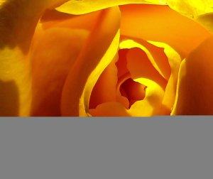 sárga rozsa